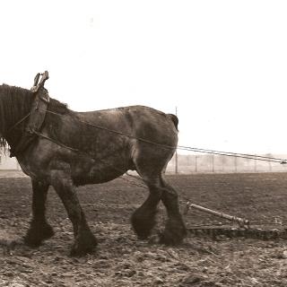 002-Grond bewerken met een trekpaard te Milheeze.